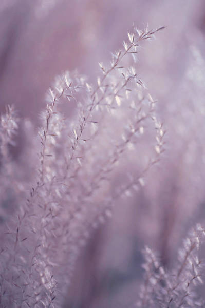 Photograph - Fantasy Grass Dreams In Purple by Jenny Rainbow