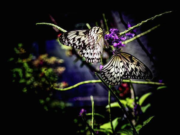 Photograph - Farfalla by Robin Zygelman