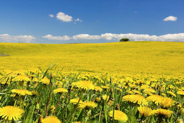 Skane Photograph - Farm Field With Dandelions, Osterlen by Johner Images