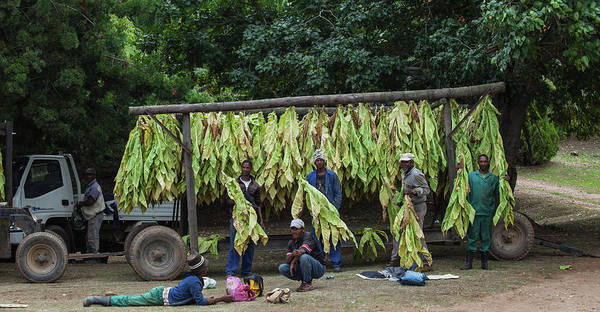 Farm Photograph - Farm Workers Displaying A Tobacco Crop by Rainer Schimpf