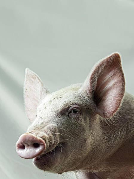 Pig Photograph - Farmyard Pig by The Plummer-kennedy Conspiracy