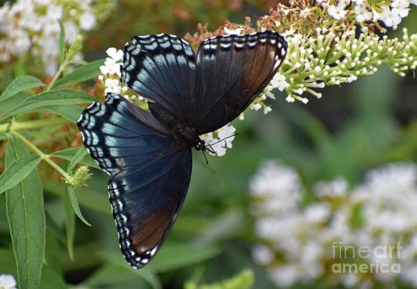 Dwayne Johnson Wall Art - Photograph - Fascinating Red-spotted Purple by Cindy Treger