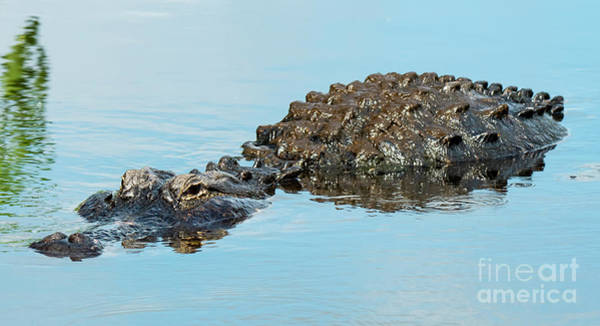 Photograph - Fat American Alligator by Michael D Miller