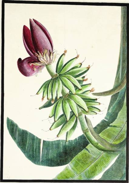 Wall Art - Painting - fauna and flora studies, India, Murshidabad, Company School, late 18th early 19th century 2 by Celestial Images