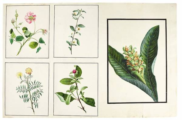 Wall Art - Painting - fauna and flora studies, India, Murshidabad, Company School, late 18th early 19th century 4 by Celestial Images