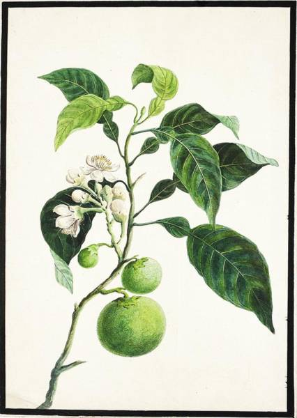 Wall Art - Painting - fauna and flora studies, India, Murshidabad, Company School, late 18th early 19th century by Celestial Images