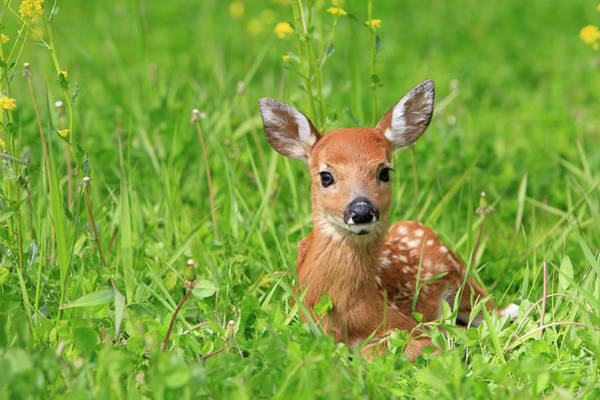 Fawn Photograph - Fawn . White Tailed Deer by Sylvain Cordier