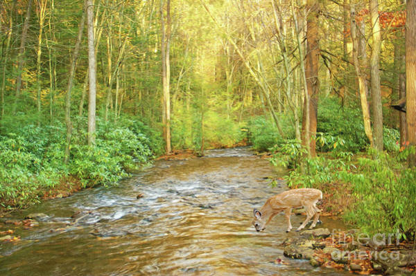 White Tailed Deer Photograph - Fawn Drinking From Stream by Laura D Young