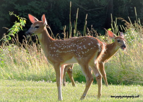 Photograph - Fawns On A Summer Evening by Tami Quigley