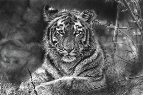 Bengal Tiger Drawing -  Fearless - Hyper Realistic Pencil Drawing by Prabath Zoysa