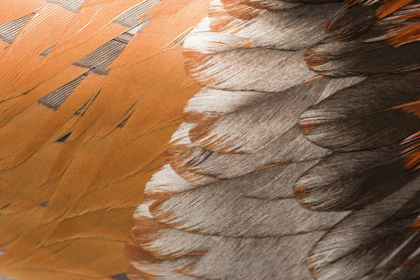 Rooster Photograph - Feathers Of A Rooster, Close Up by Nacivet