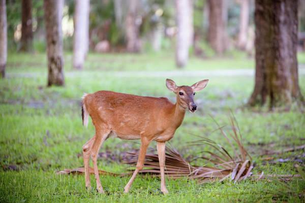 Feeding Deer Art Print