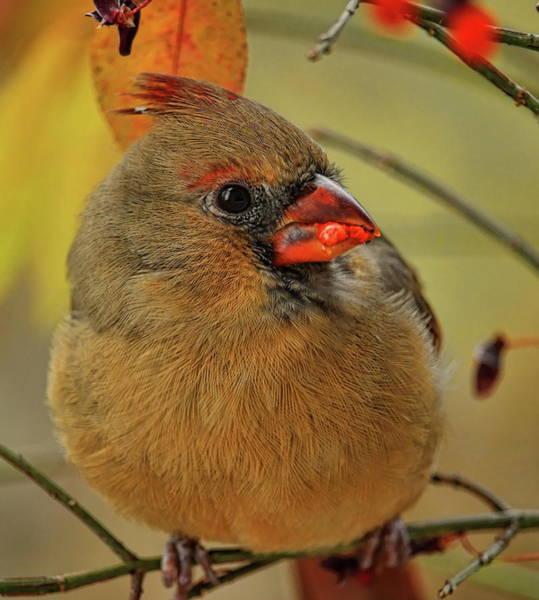 Photograph - Feeding Fall Female Cardinal by Dale Kauzlaric