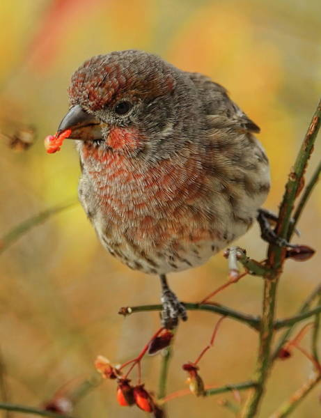 Photograph - Feeding Female House Finch by Dale Kauzlaric