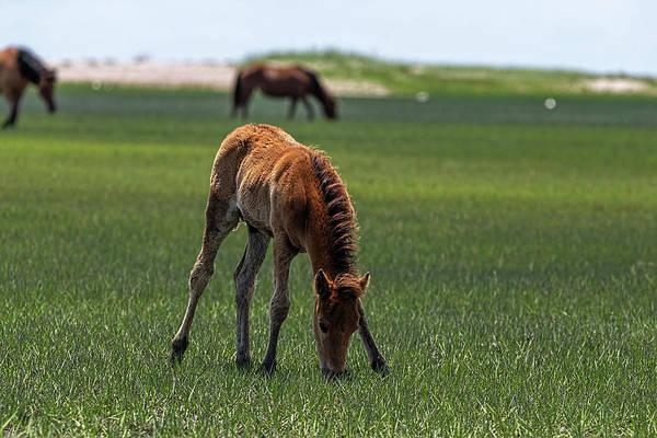 Photograph - Feeding On Marsh Grass by Dan Friend