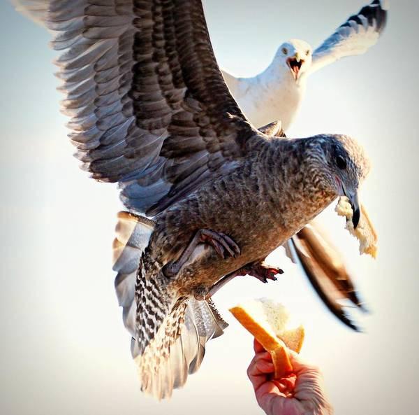Orchard Beach Photograph - Feeding Seagulls by Photo By Kristin Zecchinelli