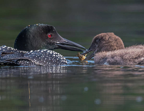 Photograph - Feeding Time For Baby Loon by Darryl Hendricks