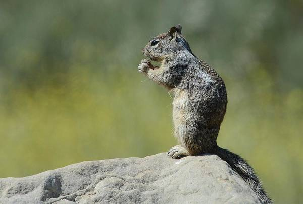 Photograph - Feeling Squirrelly 2 by Fraida Gutovich