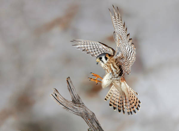 Wall Art - Photograph - Female American Kestrel Landing by Adam Jones