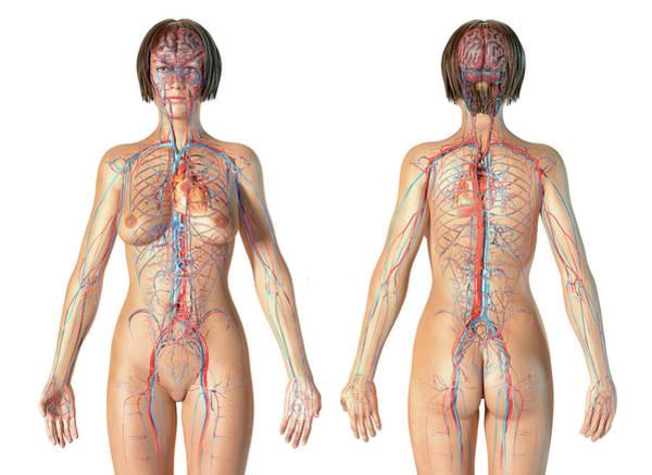 Wall Art - Photograph - Female Anatomy Of Cardiovascular by Leonello Calvetti