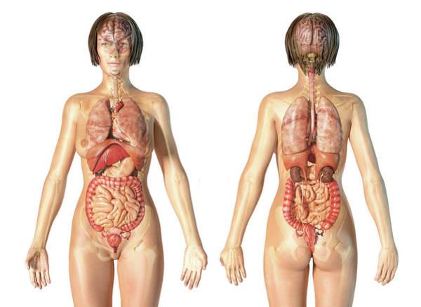 Photograph - Female Anatomy Of Internal Organs by Leonello Calvetti