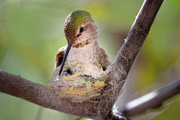 Wall Art - Photograph - Female Anna's Hummingbird On Nest by Adam Jones