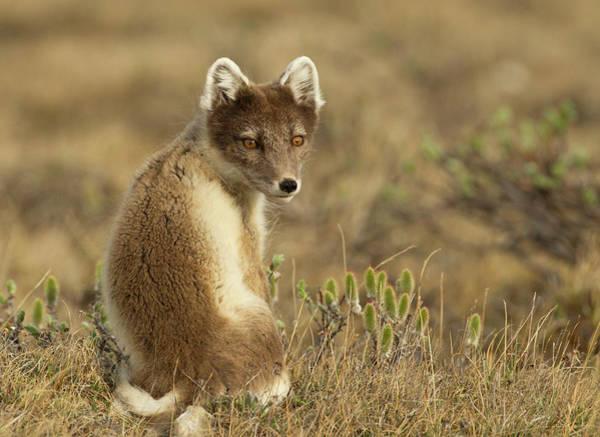 Wall Art - Photograph - Female Arctic Fox by Image By David G Hemmings