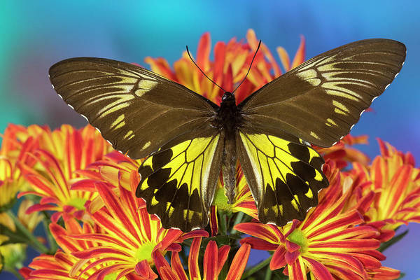 Wall Art - Photograph - Female Bird Wing Butterfly Troides by Darrell Gulin