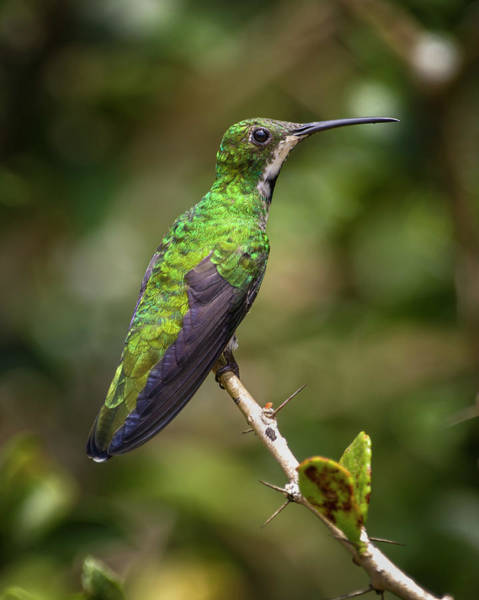 Photograph - Female Black Throated Mango Hummingbird Jardin Botanico Del Quindio by Adam Rainoff