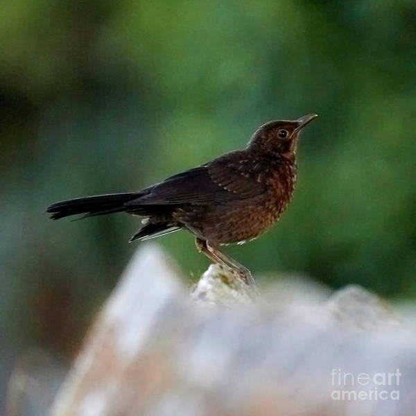 Photograph - Female Blackbird Perched On Roof by Pablo Avanzini