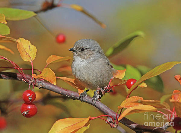 Berries Wall Art - Photograph - Female Bushtit by Gary Wing