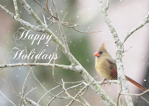 Photograph - Female Cardinal Happy Holidays by Denise Beverly