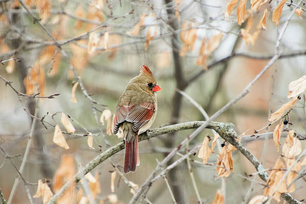 Photograph - Female Cardinal In Winter by Peggy Collins