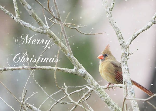 Photograph - Female Cardinal Merry Christmas by Denise Beverly