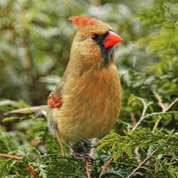 Photograph - Female Cardinal On Cedar by Dale Kauzlaric