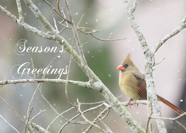 Photograph - Female Cardinal Season's Greetings by Denise Beverly