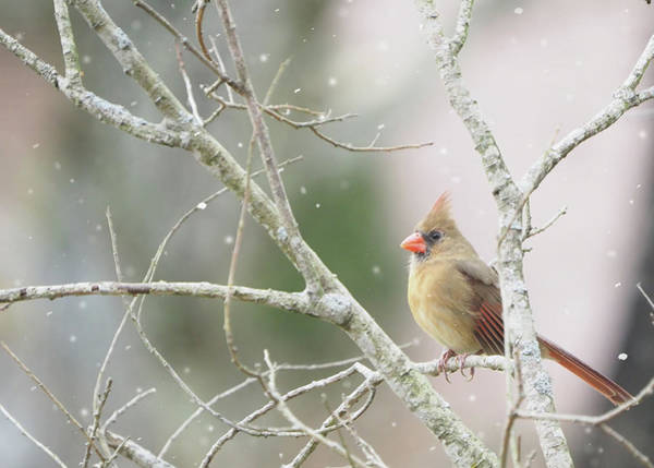 Photograph - Female Cardinal Winter Scene by Denise Beverly