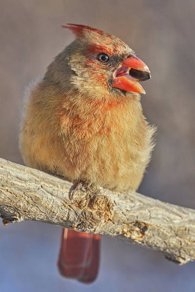 Photograph - Female Cardinal With Sunflower Seed by Jim Hughes