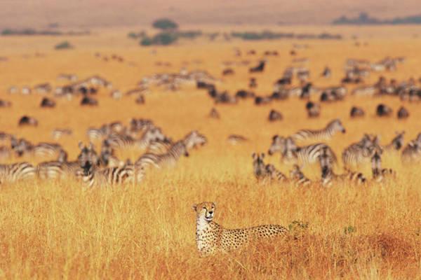 Wall Art - Photograph - Female Cheetah Acinonyx Jubatus Walking by Paul Souders