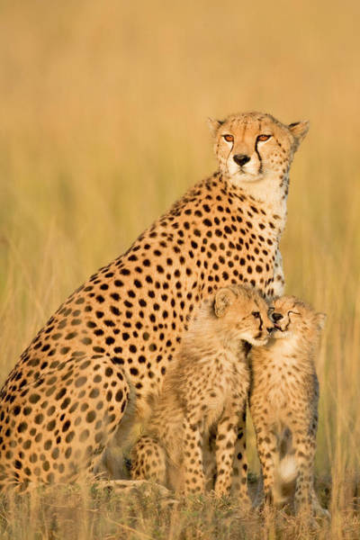 Protection Photograph - Female Cheetah Acynonix Jubatus With by Winfried Wisniewski