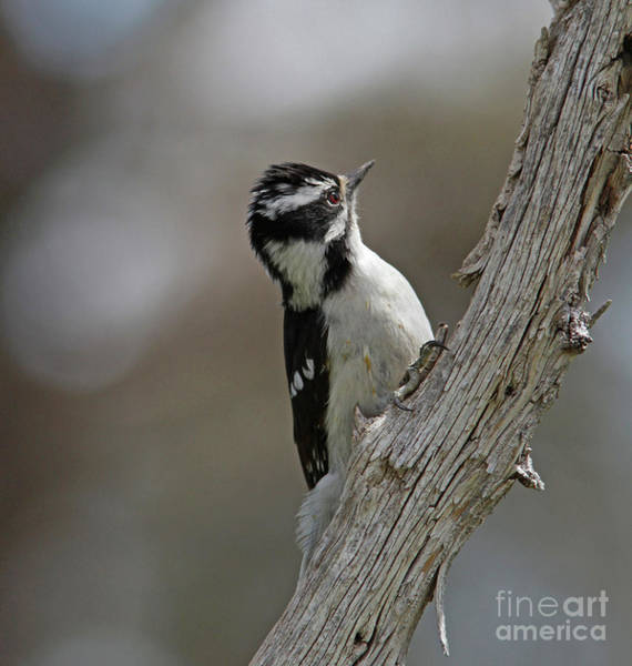 Woodpecker Wall Art - Photograph - Female Downy Woodpecker by Gary Wing