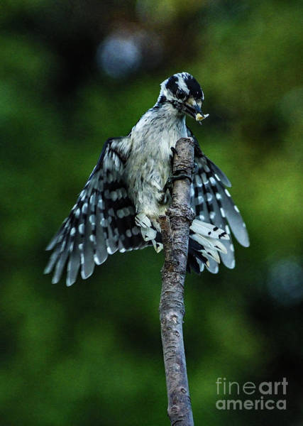 Wall Art - Photograph - Female Downy Woodpecker Landing by Cindy Treger