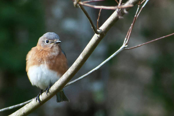 Photograph - Female Eastern Bluebird by Cascade Colors