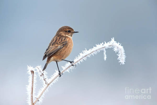 Wall Art - Photograph - Female European Stonechat On A Frosted by Giedriius
