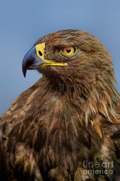 Photograph - Female Golden Eagle Aquila Chrysaetos Wildlife Rescue by Dave Welling