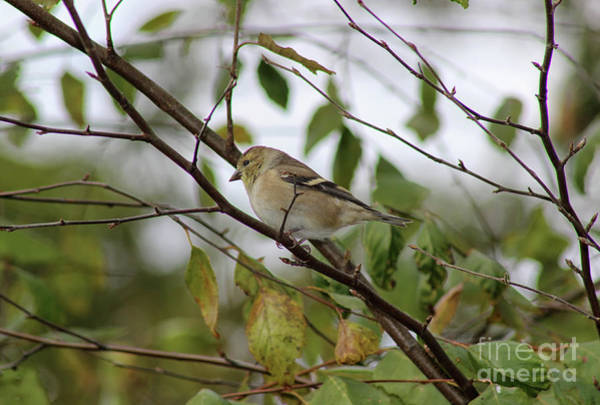 Photograph - Female Goldfinch by Karen Adams