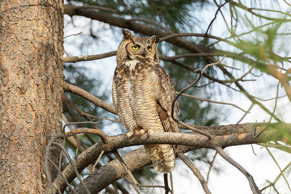Photograph - Female Great Horned Owl Watches For Threats by Tony Hake