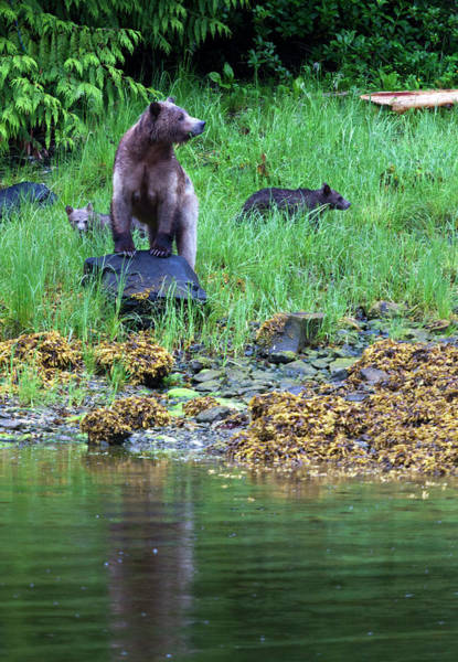 Grizzly Bears Photograph - Female Grizzly Bear And Cubs by Doug Mckinlay