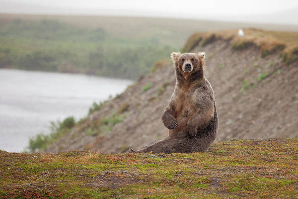 Grizzly Bears Photograph - Female Grizzly Bear Sitting by Greg Boreham (treklightly)