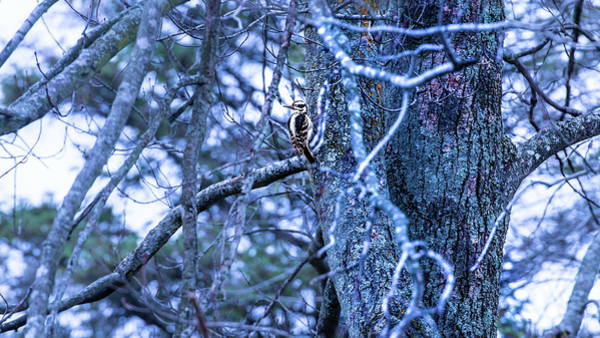 Photograph - Female Hairy Woodpecker by Onyonet  Photo Studios